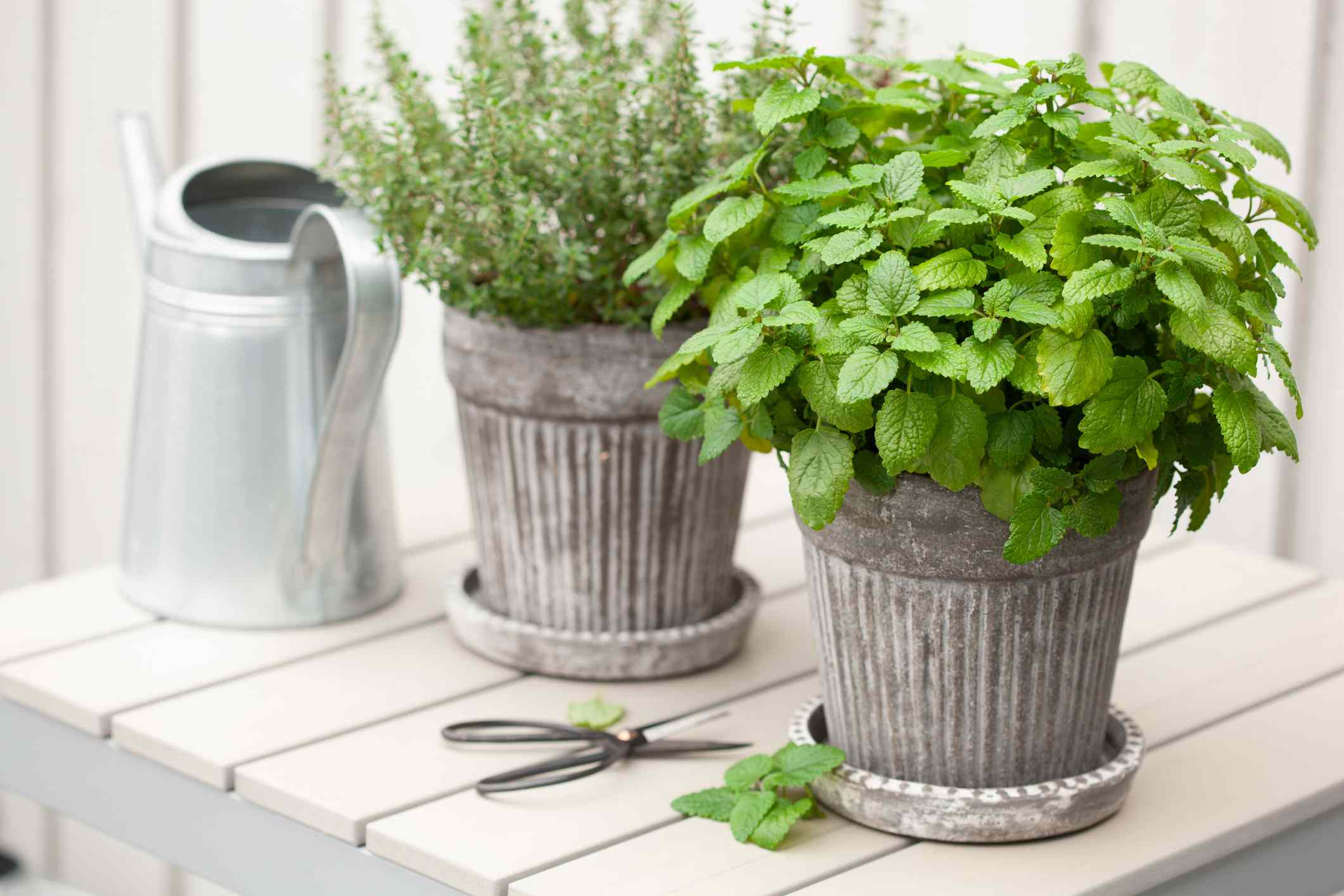 lemon balm and thyme plants in metal pots with scissors and watering can