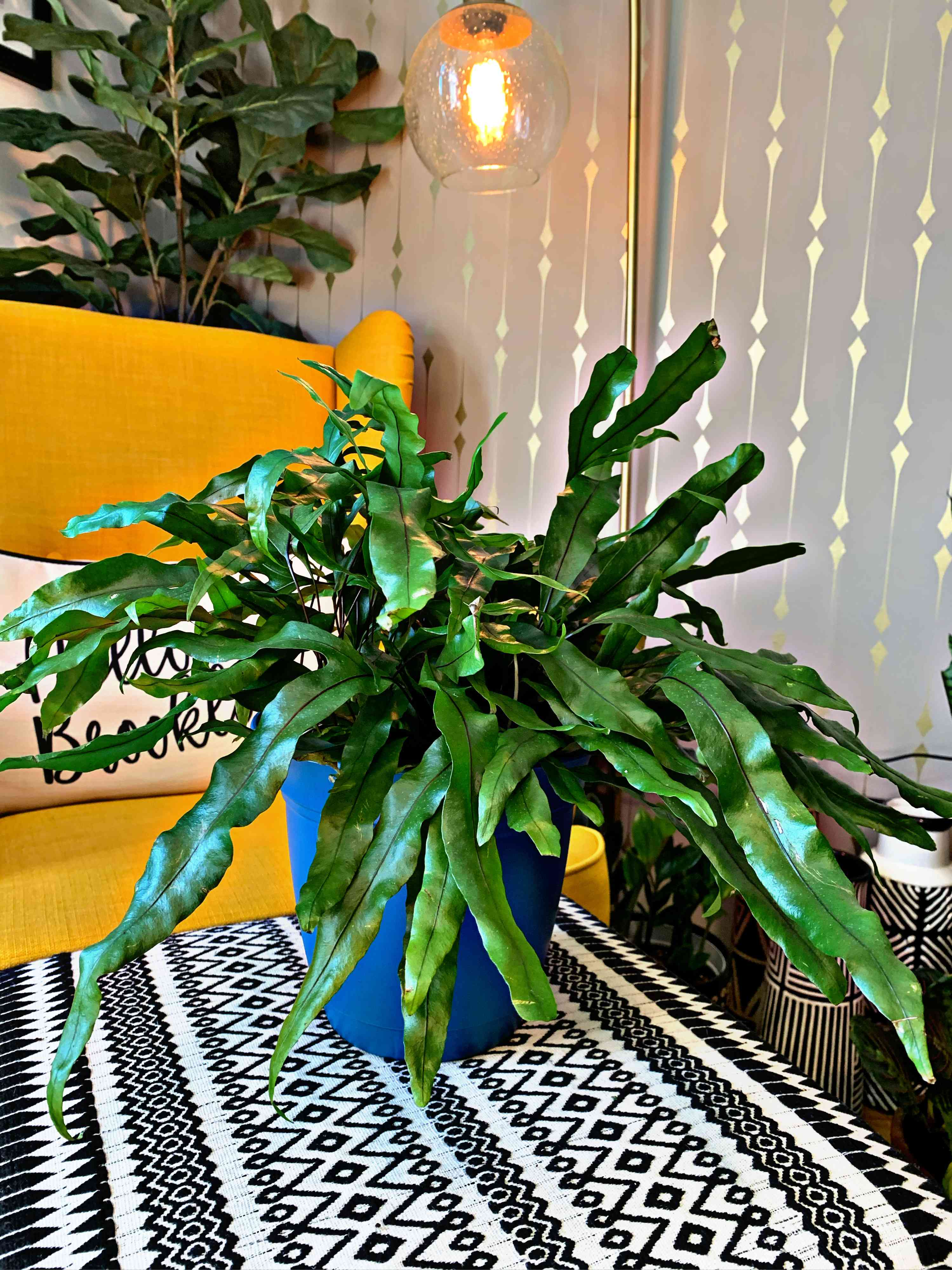 dark green kangaroo fern in blue pot on black and white tablecloth in front of yellow couch