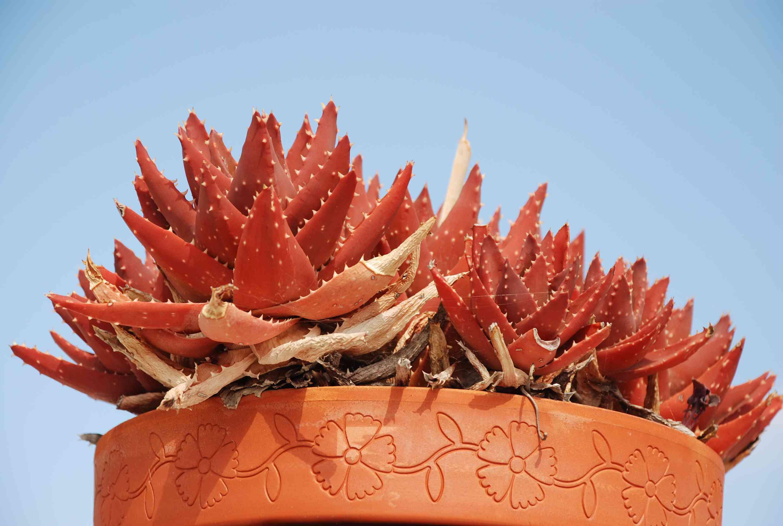 Red aloe vera