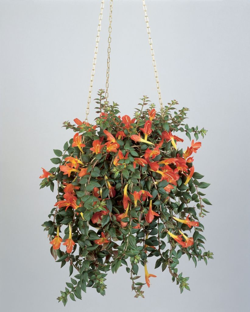Hanging goldfish plant.