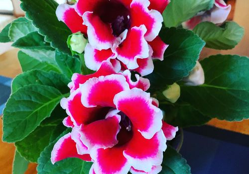 gloxinia houseplant with red and white flowers and green leaves on table