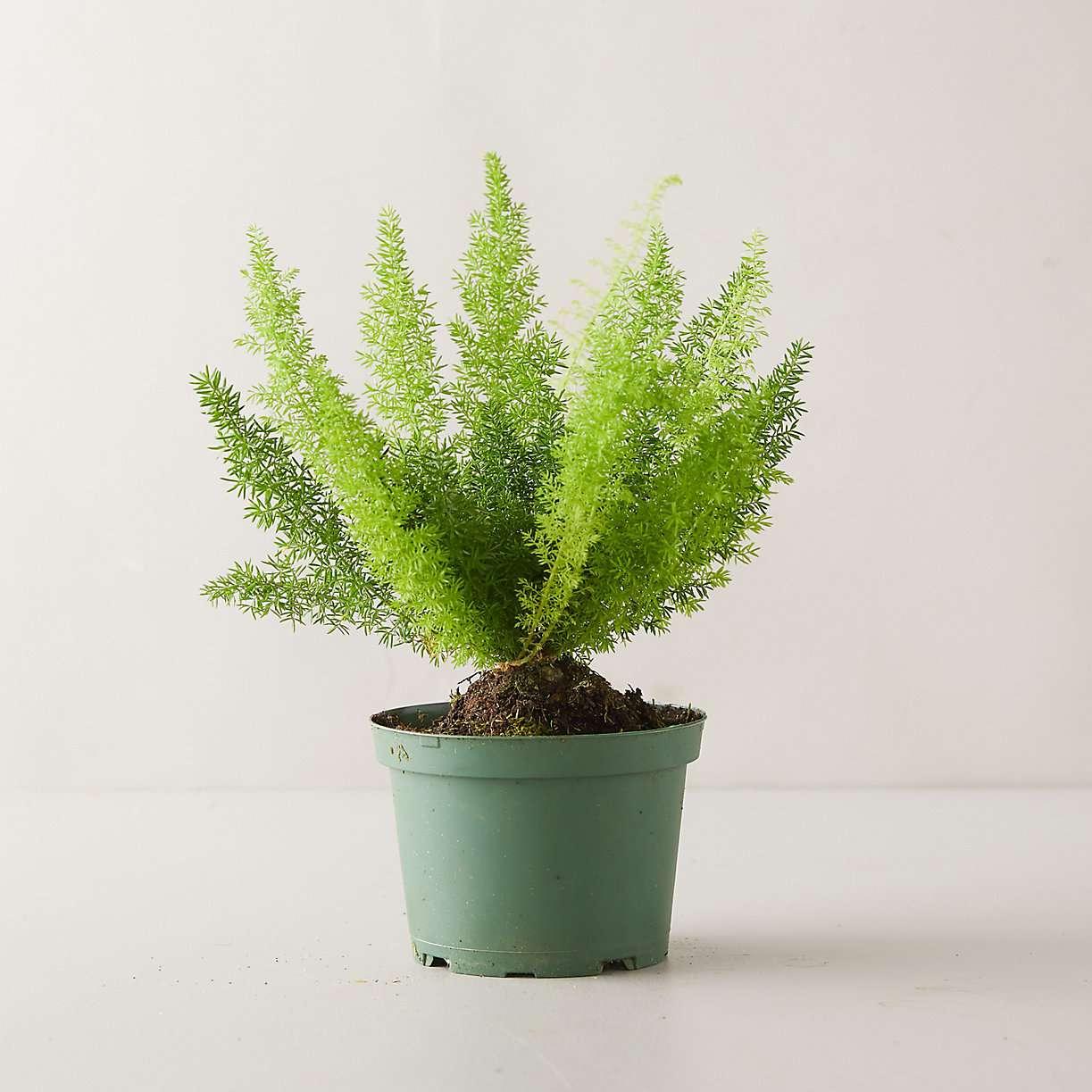 Foxtail fern in a green grower's pot