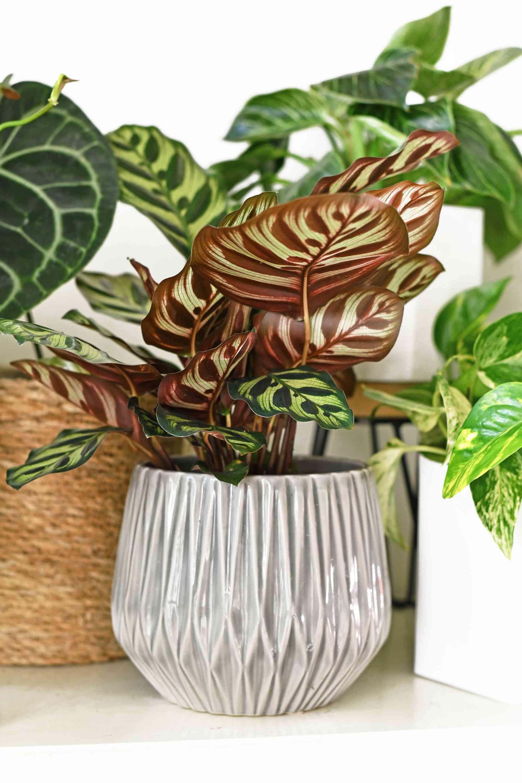 Maranta plant in gray pot