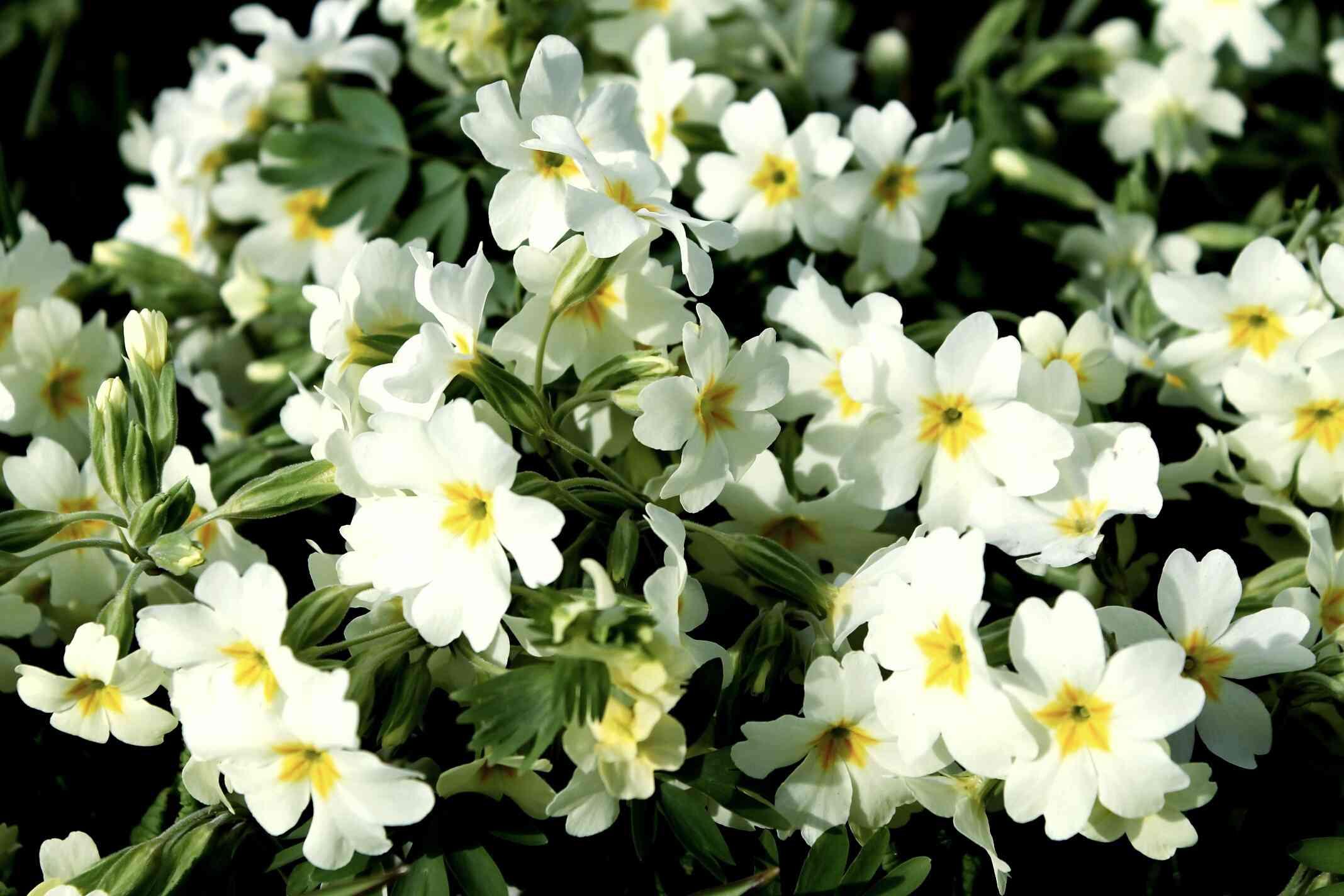 White primrose flowers.