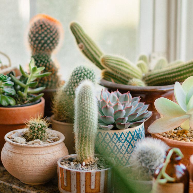 Various cacti and succulents on a bright kitchen windowsill