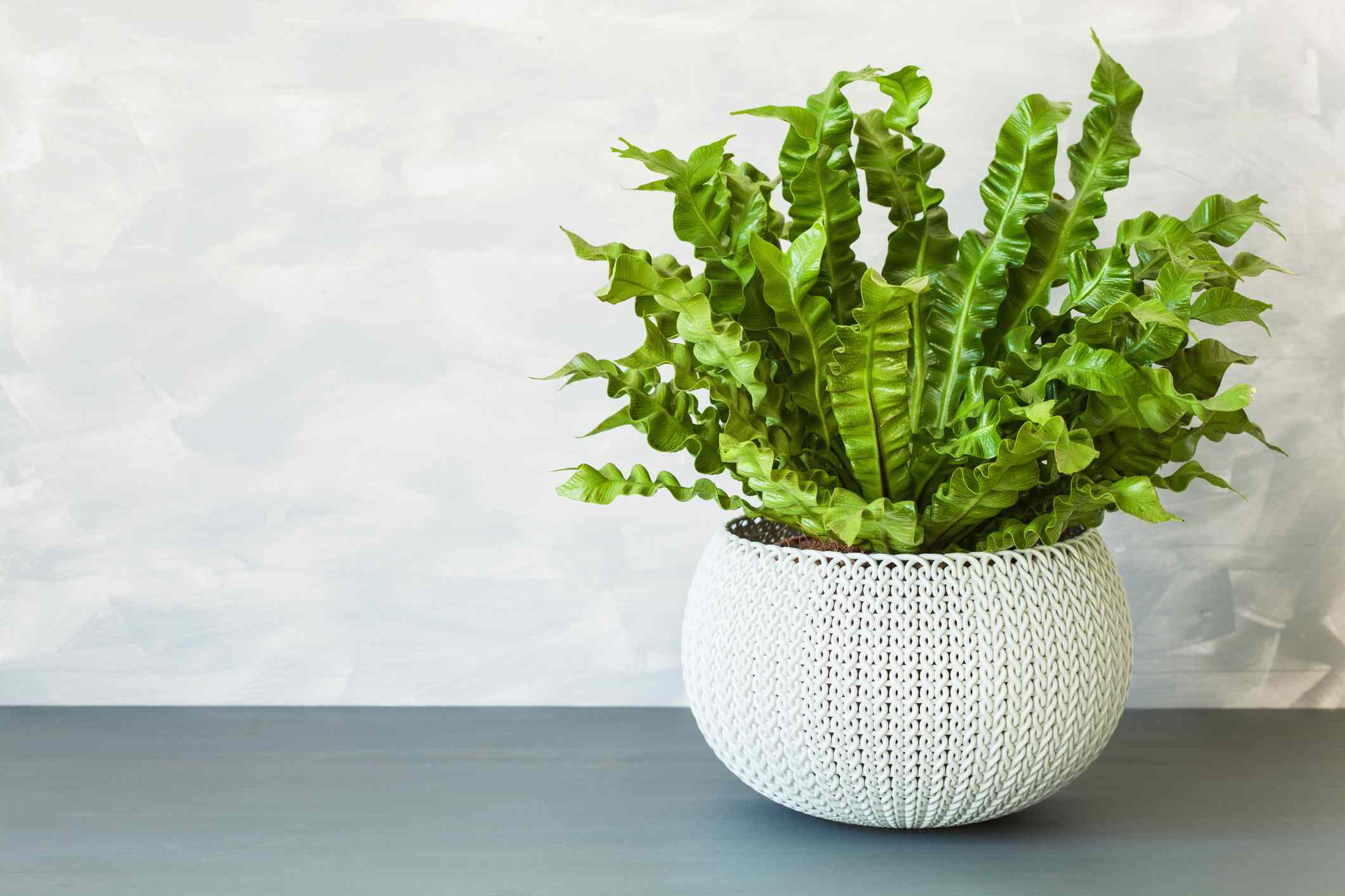bird's nest fern with wavy green leaves in white planter on gray counter