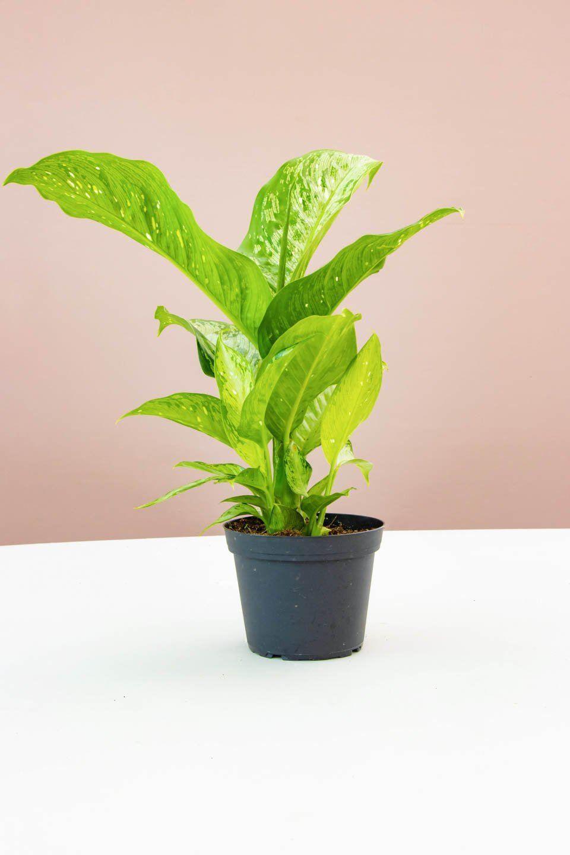 Lime green dieffenbachia in a grower's pot