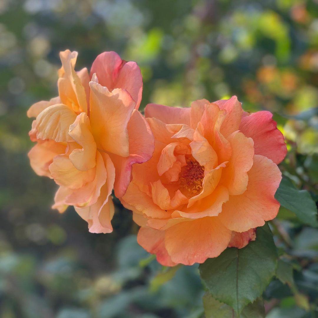rose birth month flower