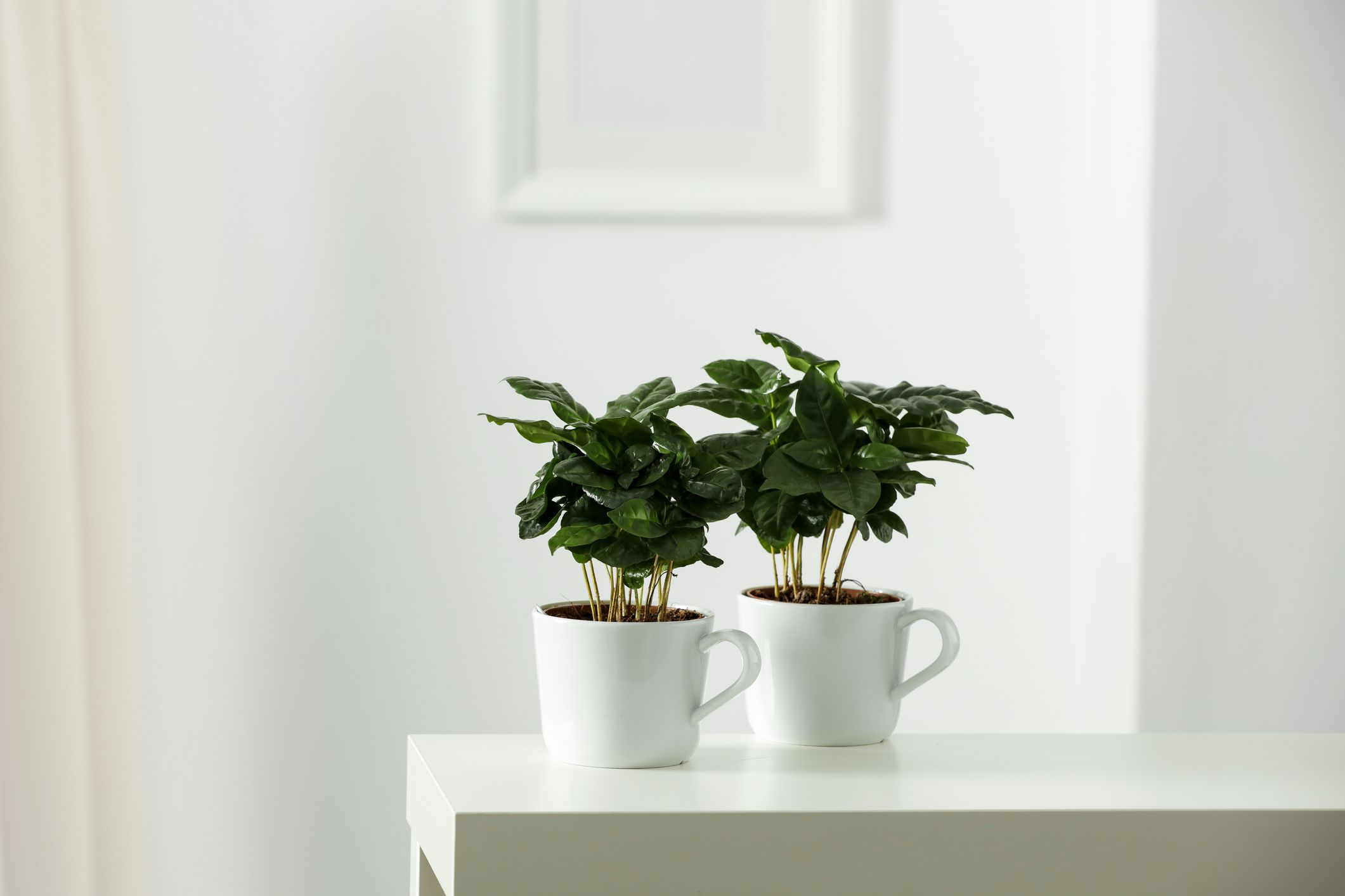Young coffee plants growing in mugs
