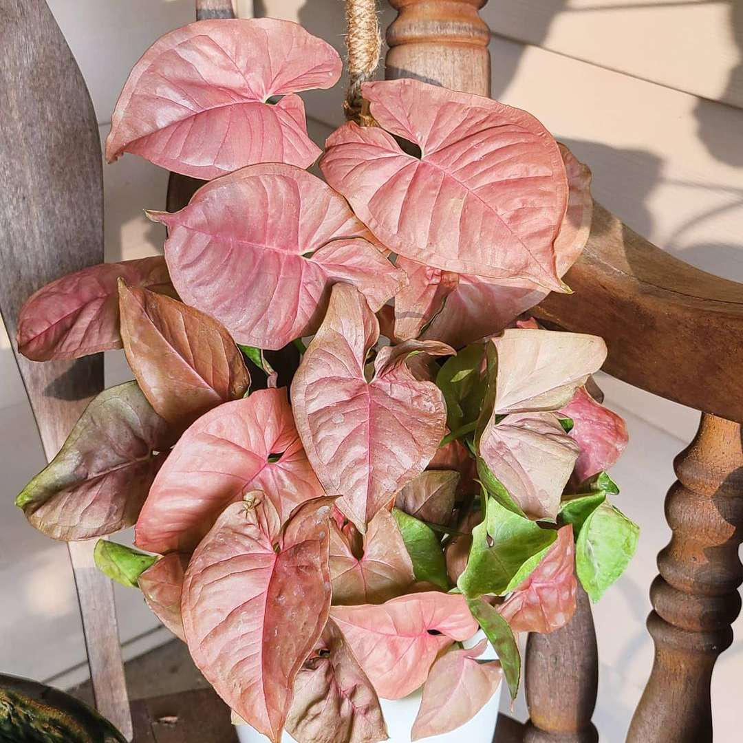 pink arrowhead plant with heard shaped leaves on wooden chair in sunlight