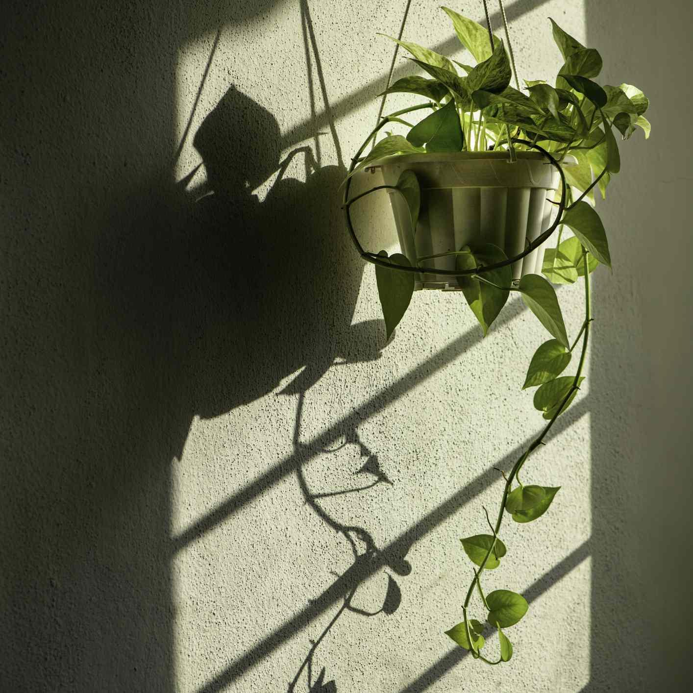 hanging pothos plant in a dark room