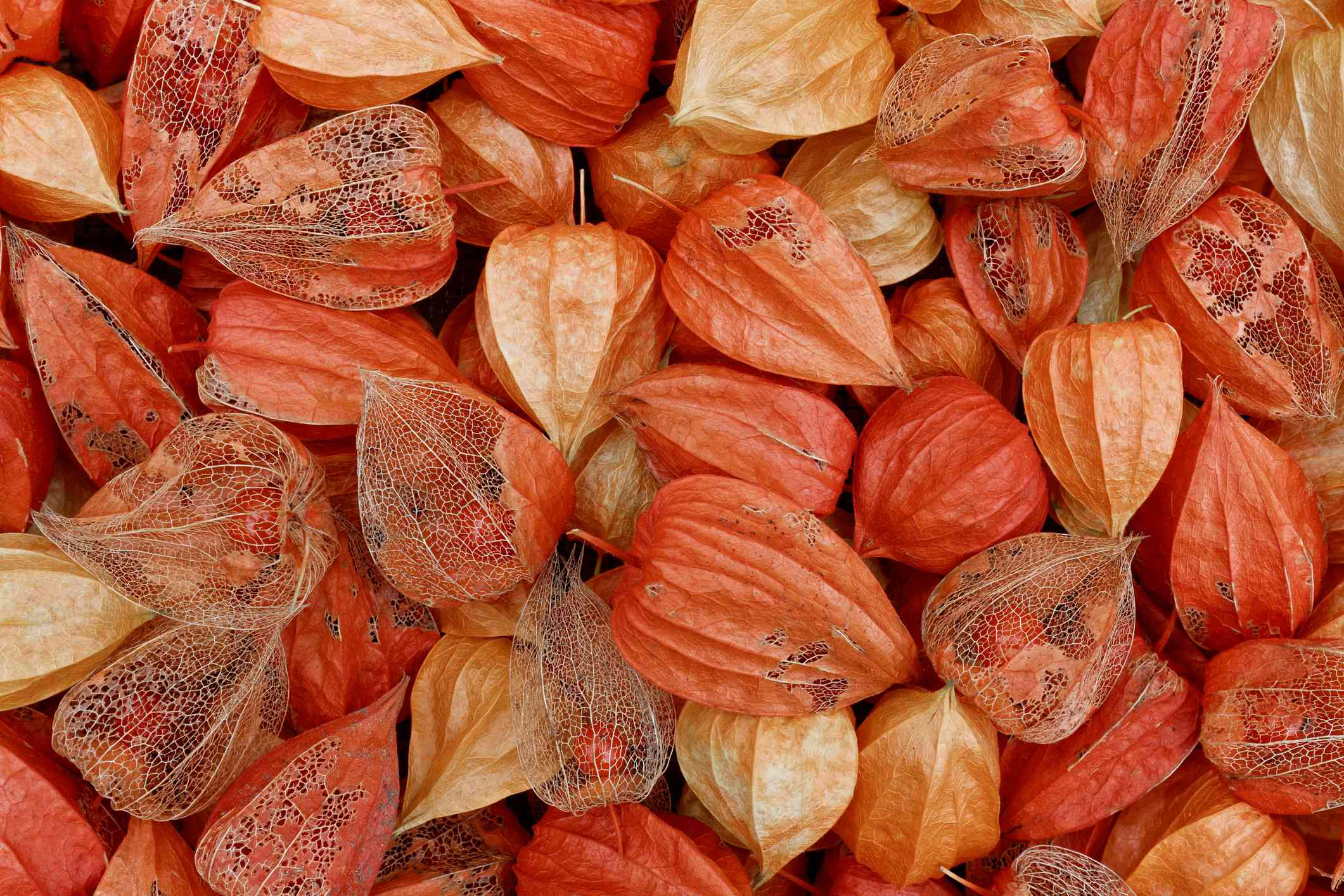 full-frame overhead image of light and dark orange chinese lantern plant husks with some dried so that you can see through to the tiny orange berry inside