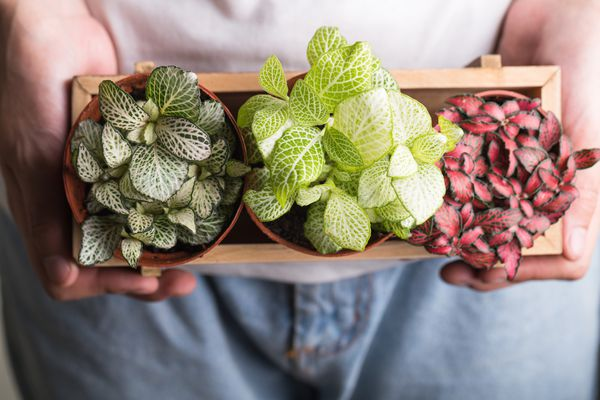 dark green, light green, and pink nerve plants in small pots in wood container held by white person's hands