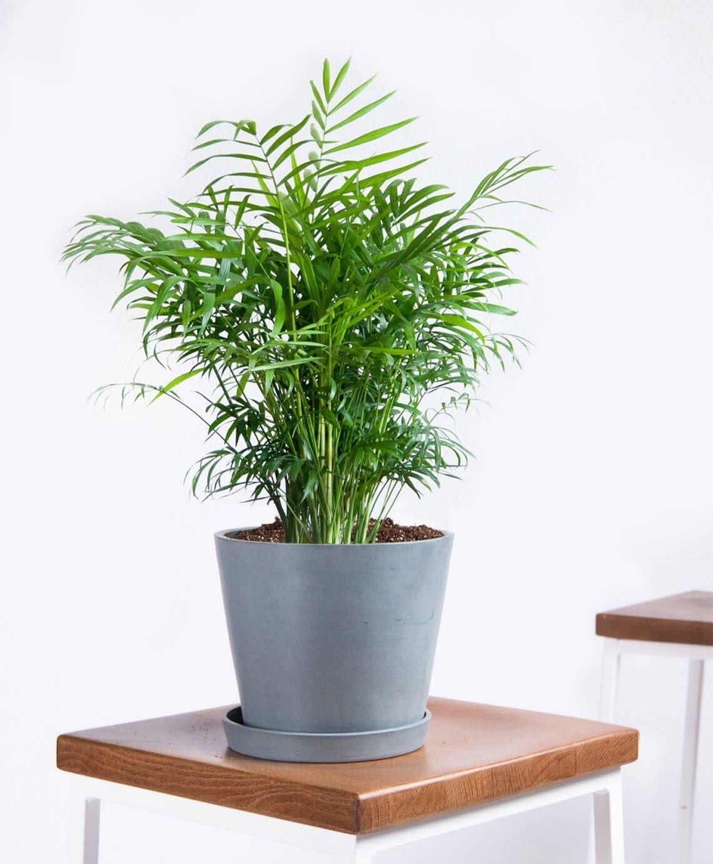 Bloomscape Parlor Palm
