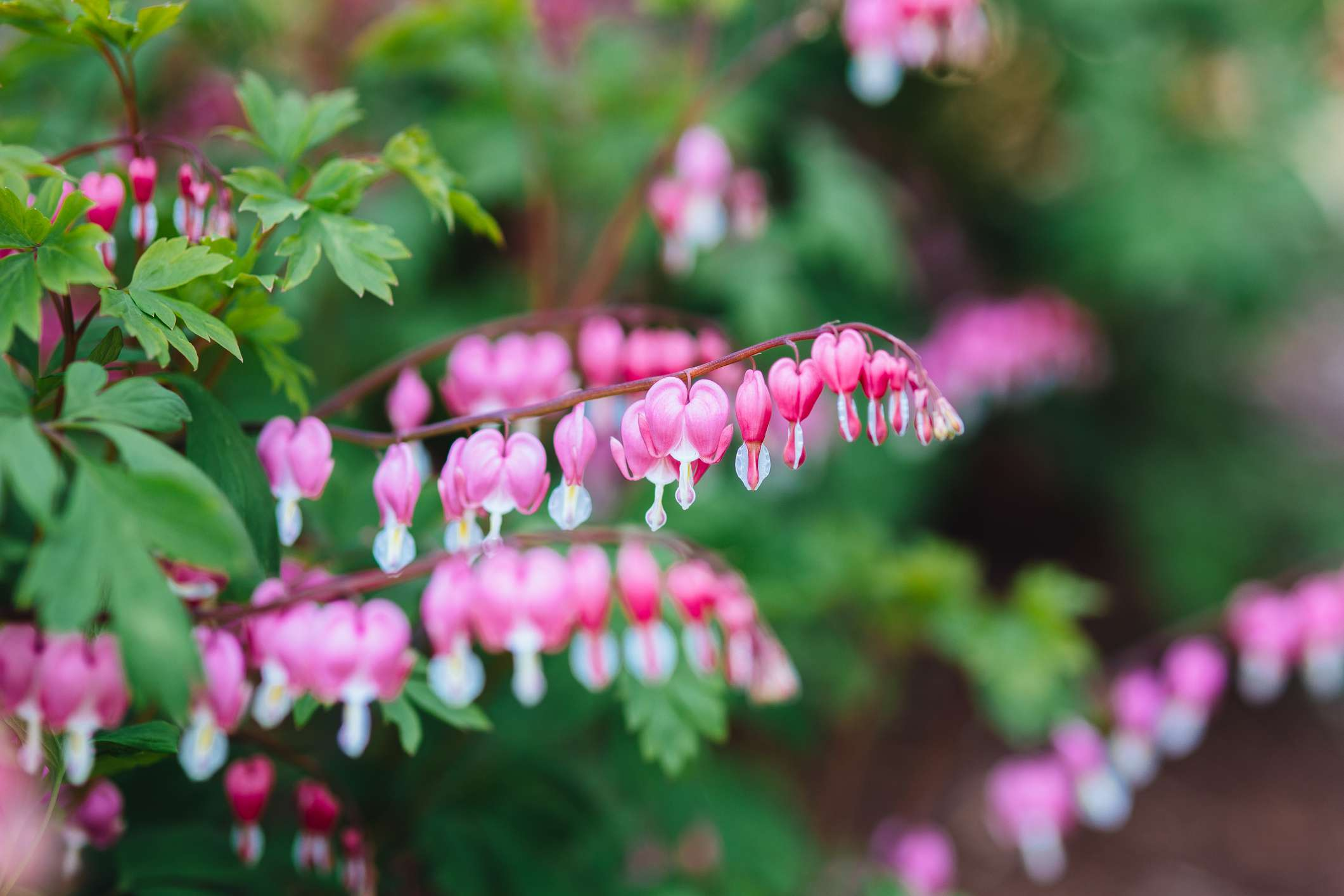 pink and white bleeding heart flowers and green leaves