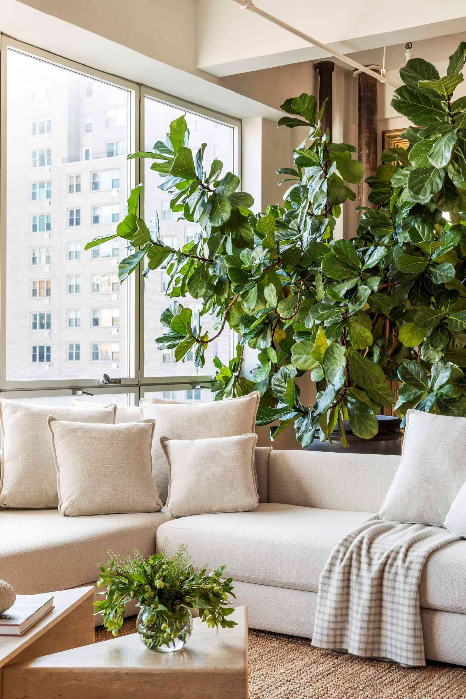 A living room with a large off-white couch and a massive fiddle leaf fig tree