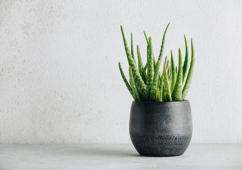 Aloe vera plant in gray pot