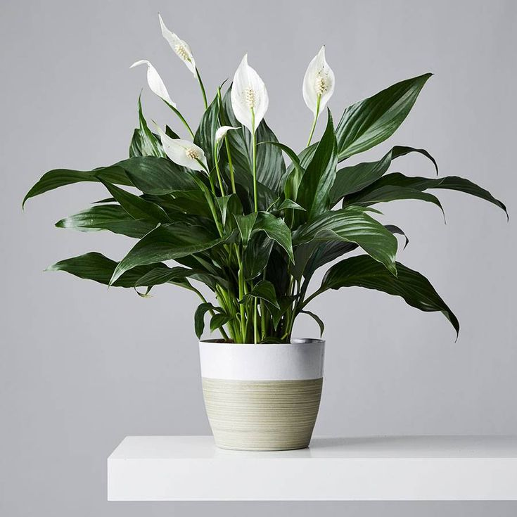 Peace Lilies Plant Care Growing Guide