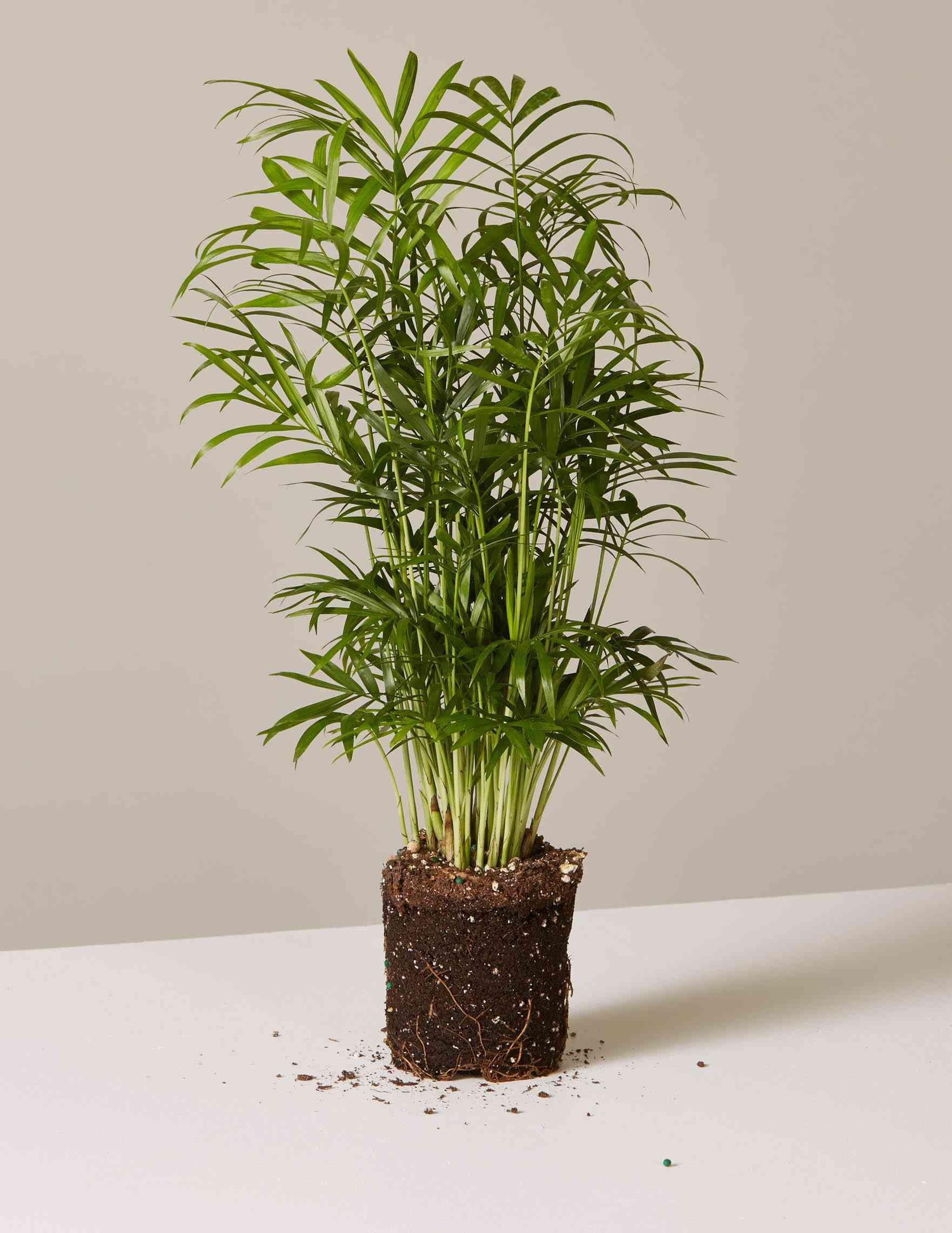 bare root parlor palm plant