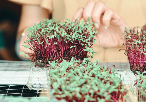 woman in yellow dress harvesting red and green microgreens