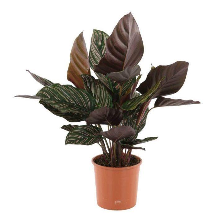 American Plant Exchange Calathea Ornata Pinstripe Prayer Live Plant