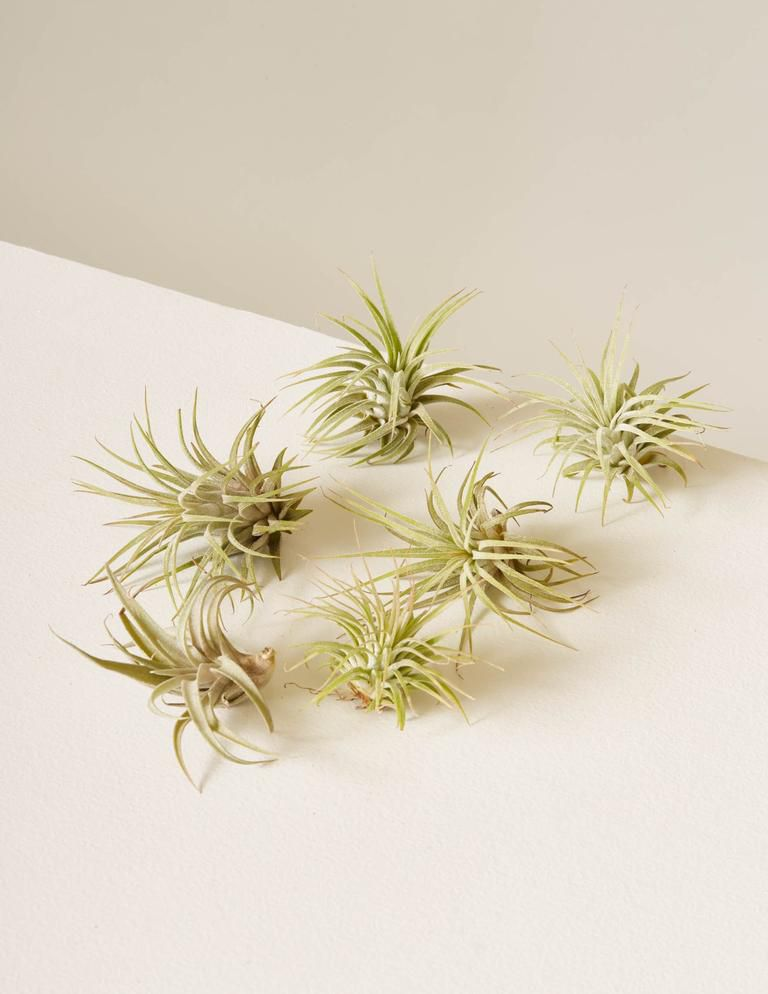 Six air plants on a white surface