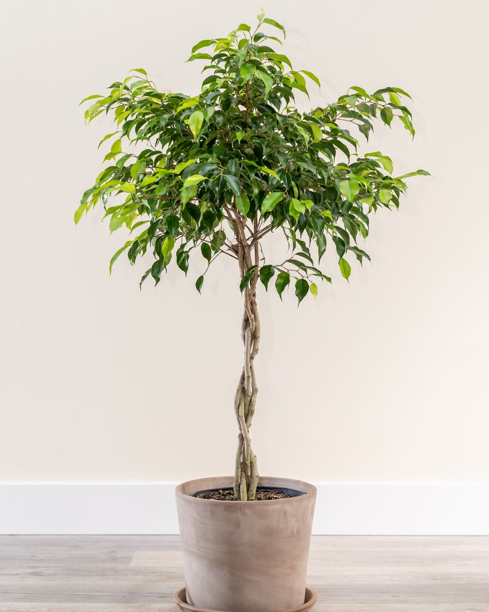 weeping fig tree in pot