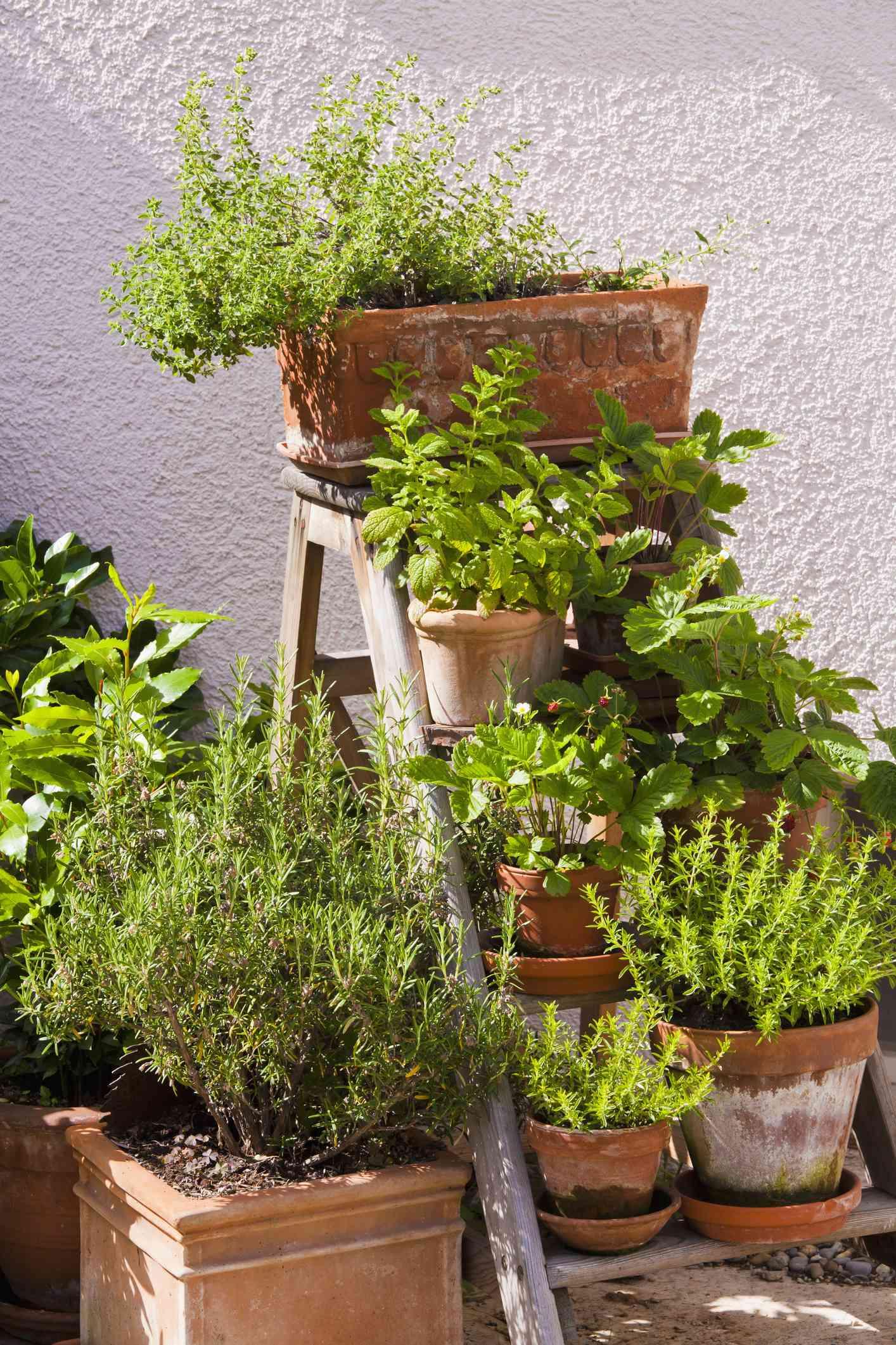 Herb garden on ladder.