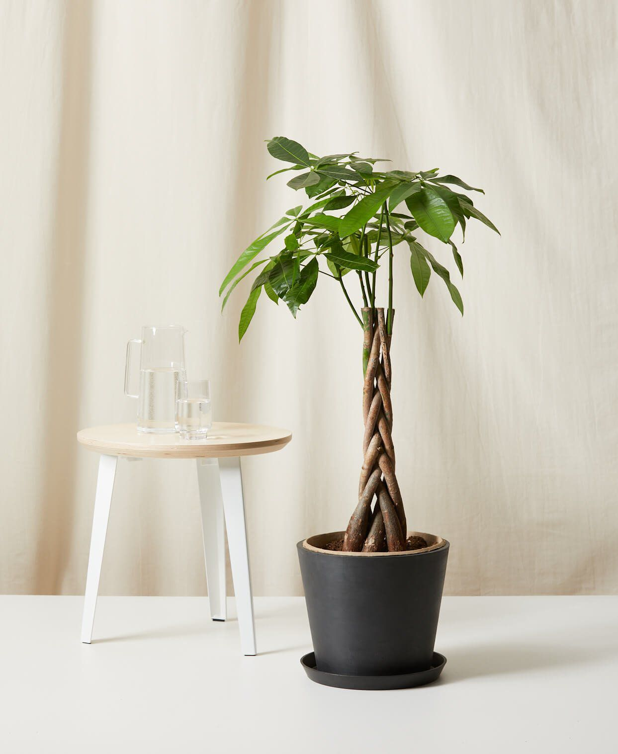 Money tree in a black pot next to a wood stool
