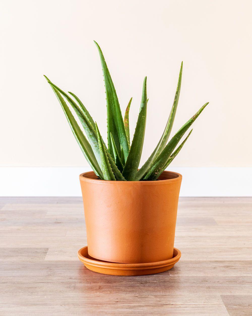 Aloe vera in a terra cotta pot on a wood floor