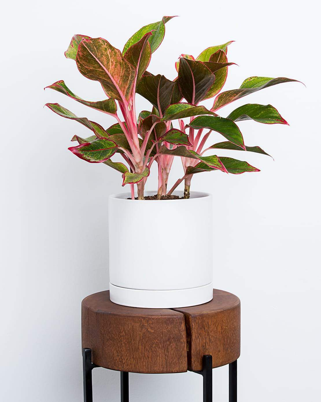 Red Chinese evergreen plant in a white pot on a wood side table