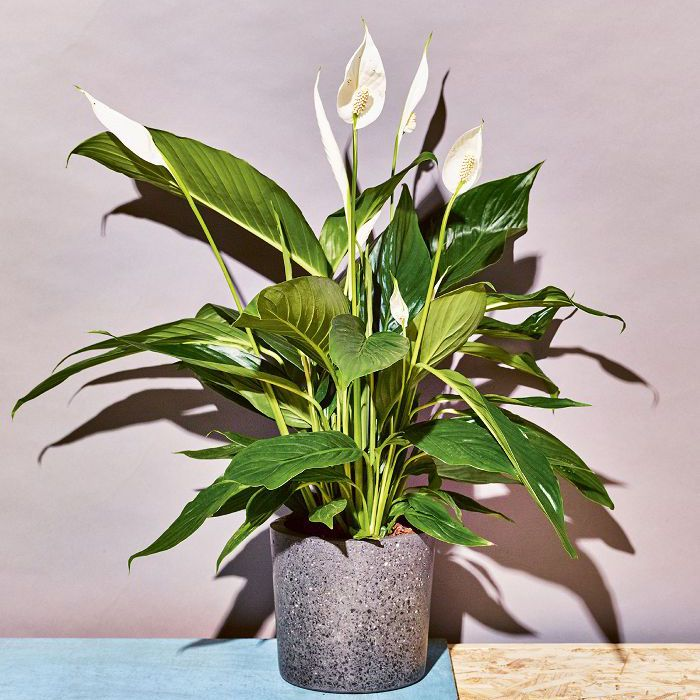 Low Light Indoor Plants Peace Lily
