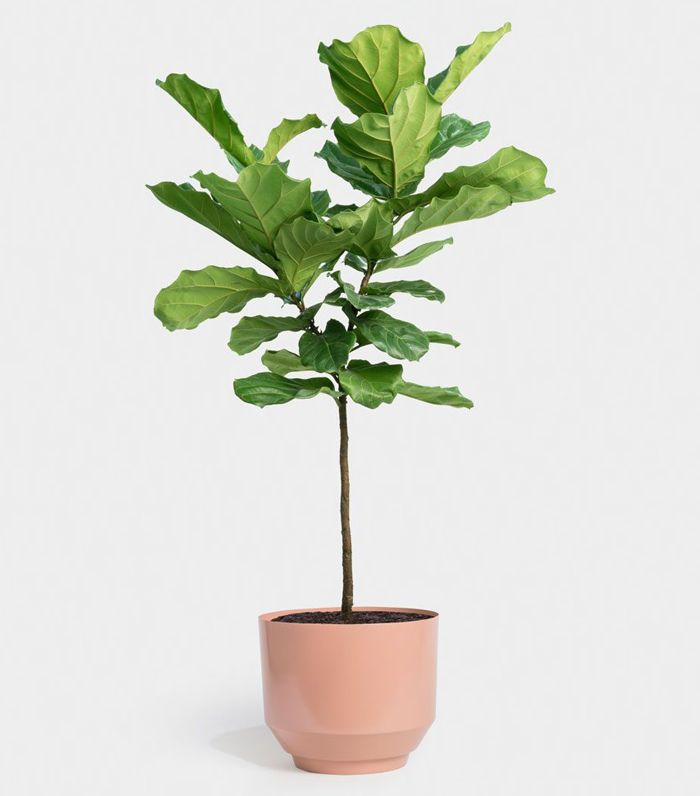 Greenery NYC Fiddle Leaf Fig Tree