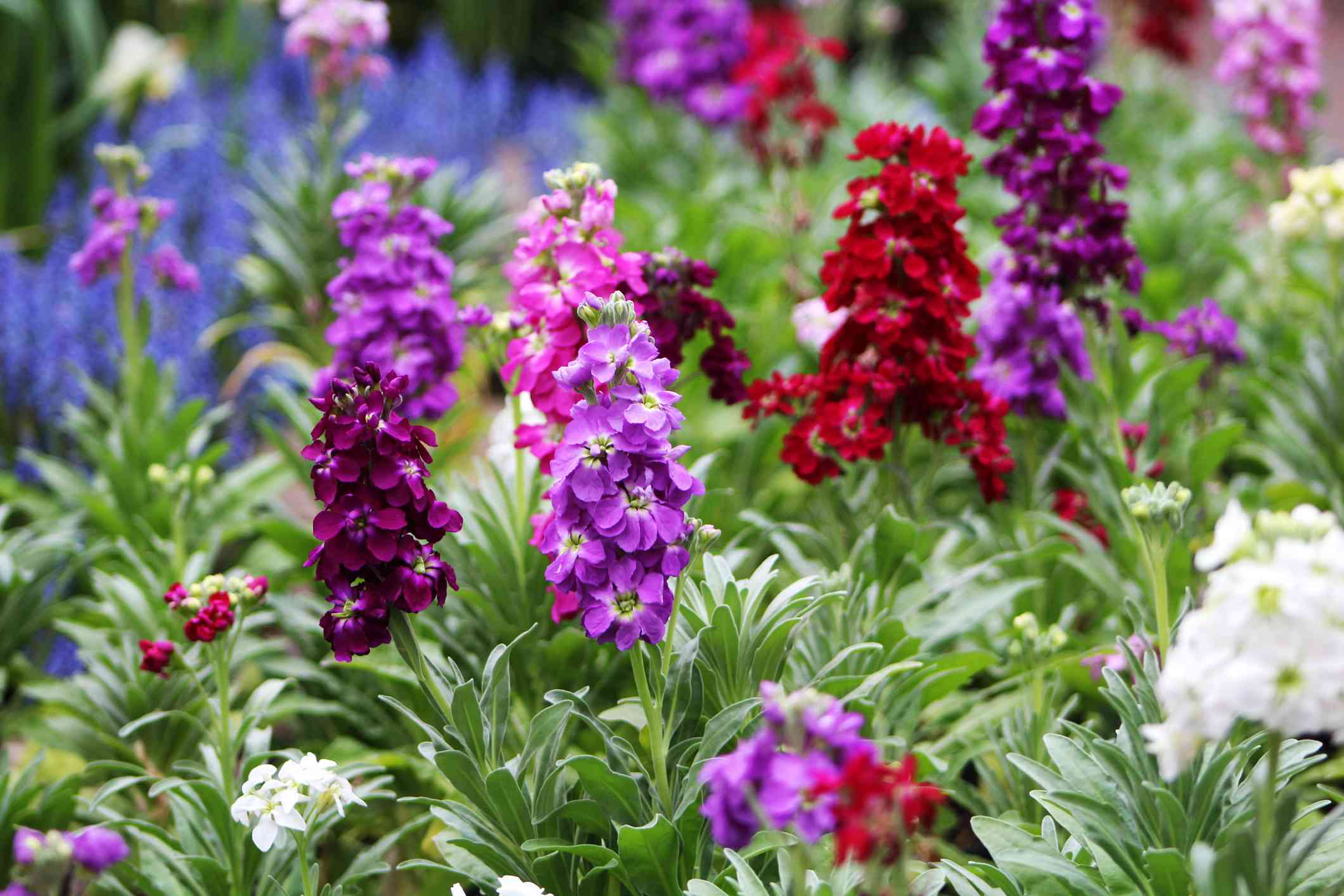 pink, purple, red, and white flowering stock blooms with long green leaves in garden