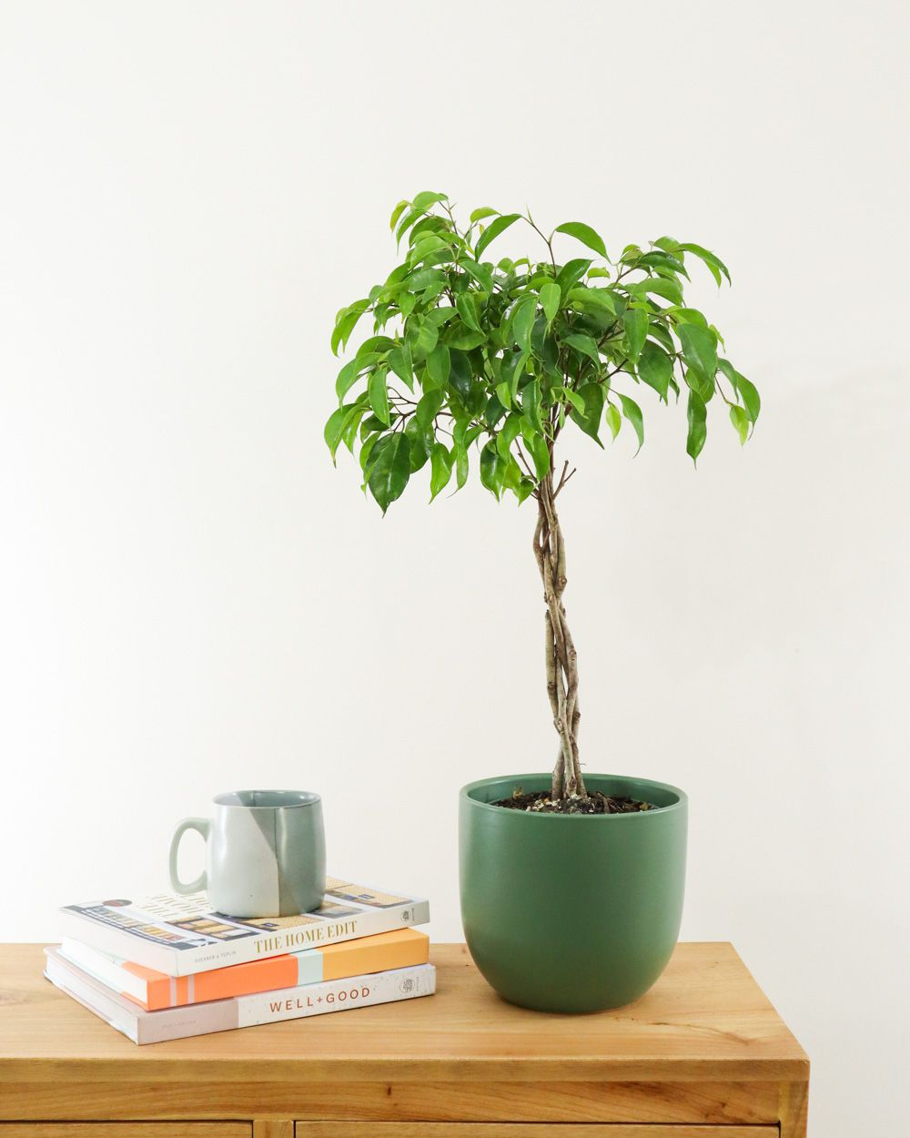 Braided weeping fig in a green pot on a wood dresser