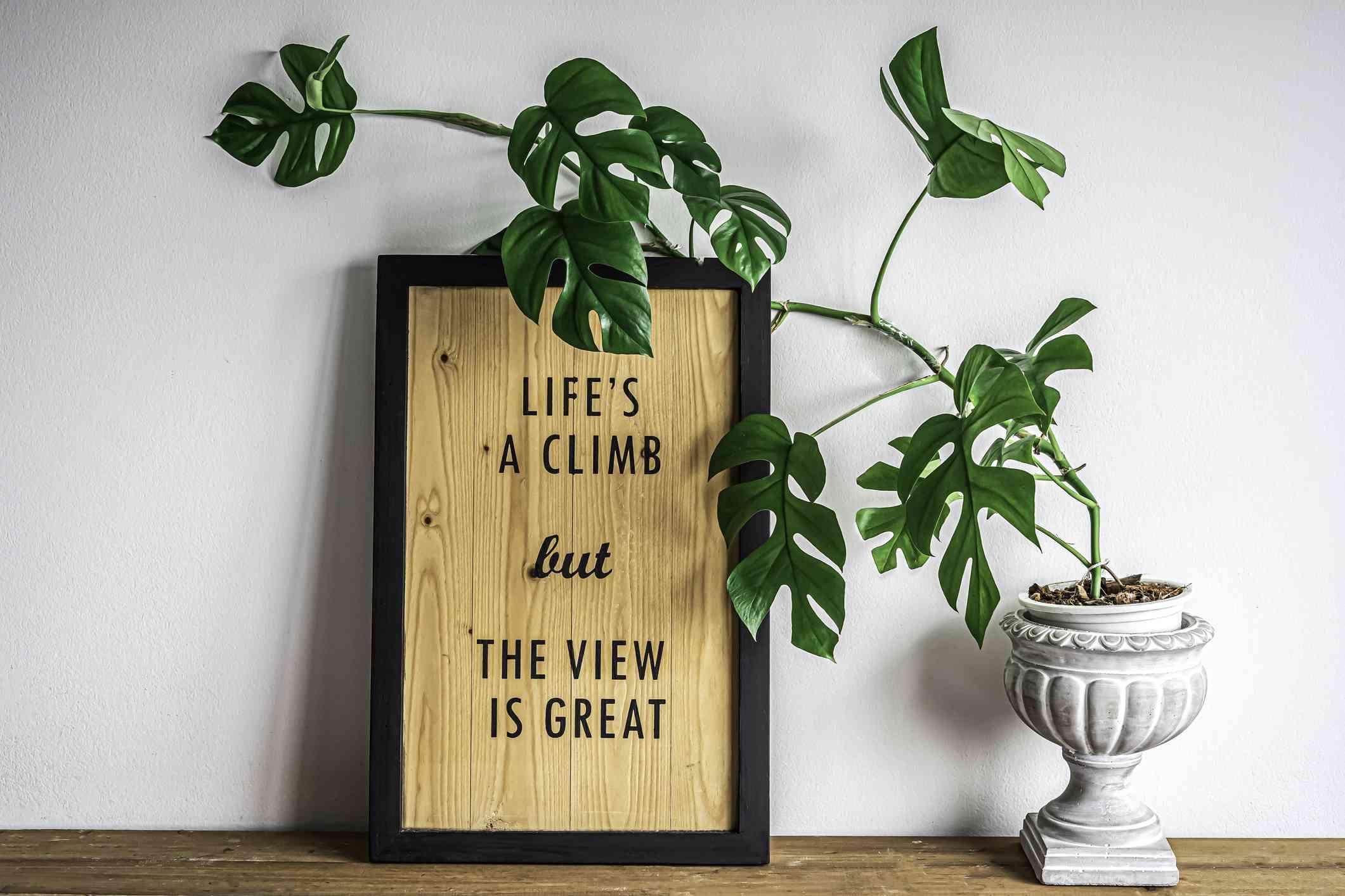 Rhaphidophora plant leans against picture frame