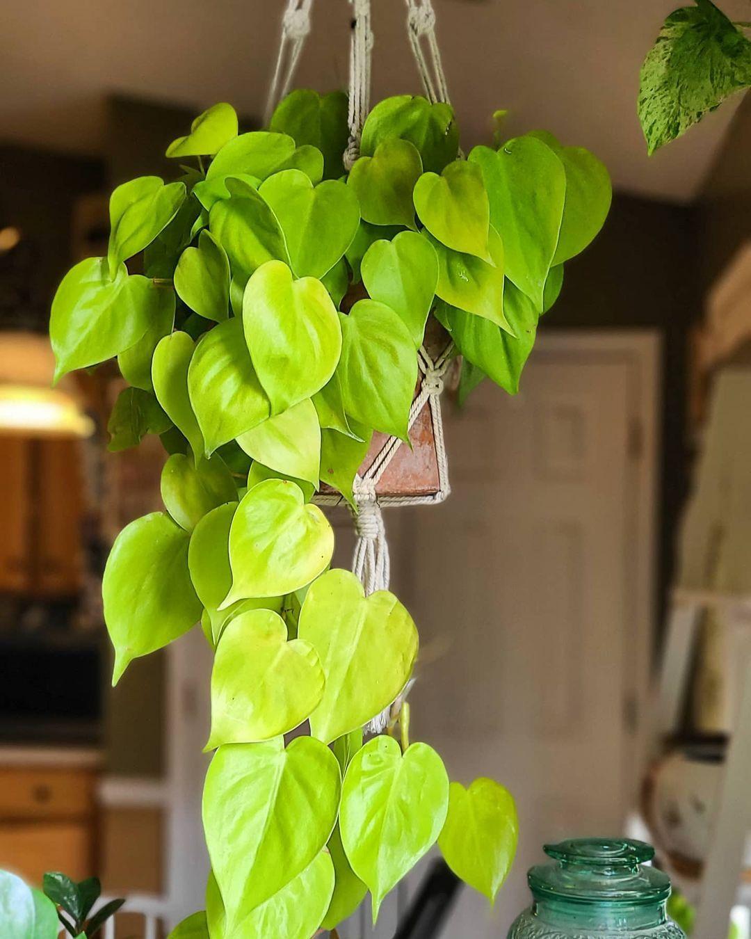 philodendron lemon lime in macrame hanger