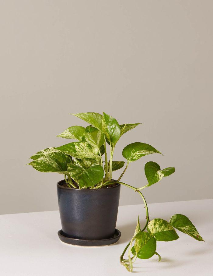 The Sill Pothos Marble In August Planter
