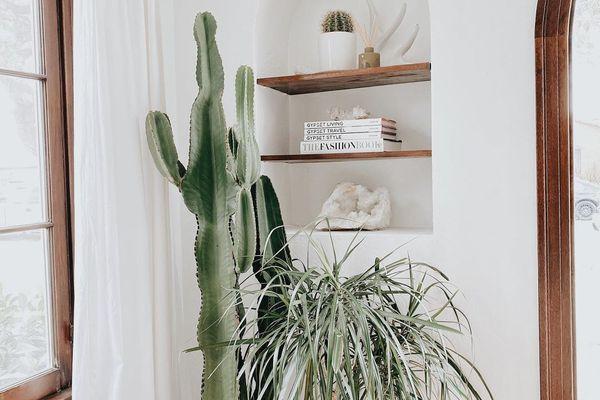 Indoor cacti next to shelves.