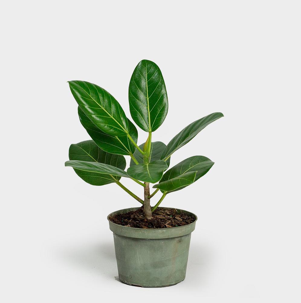 Ficus audrey in a nursery pot.