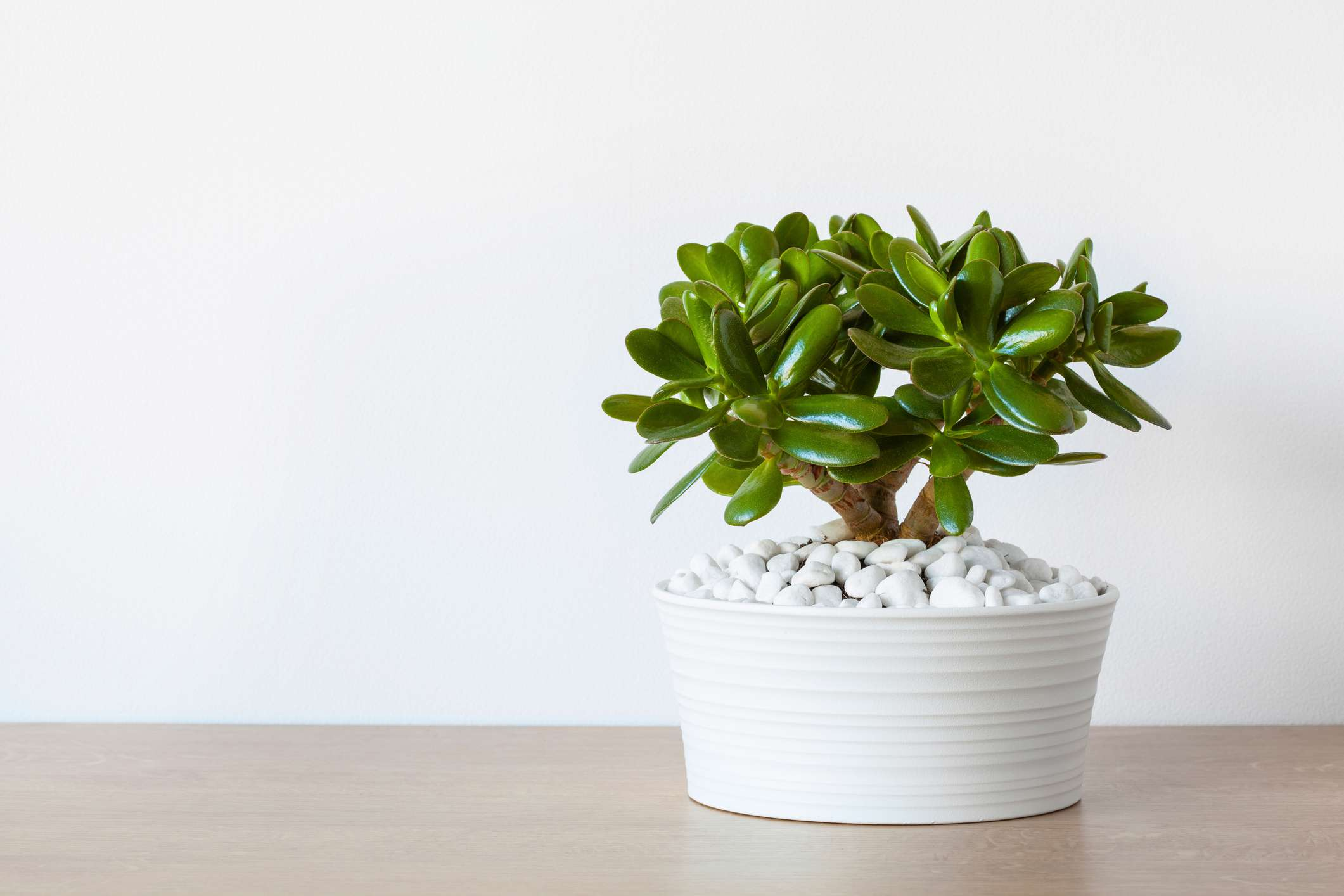 How to Care for Your Jade Plant