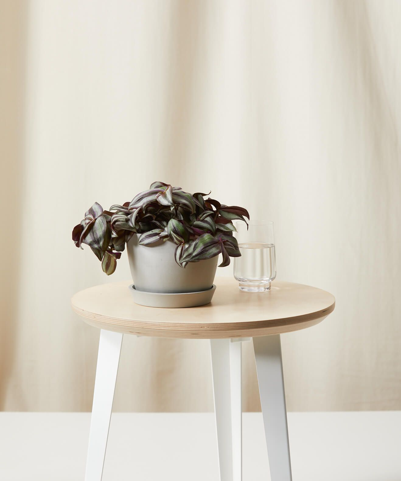 Inch plant in a gray pot on a wood stool
