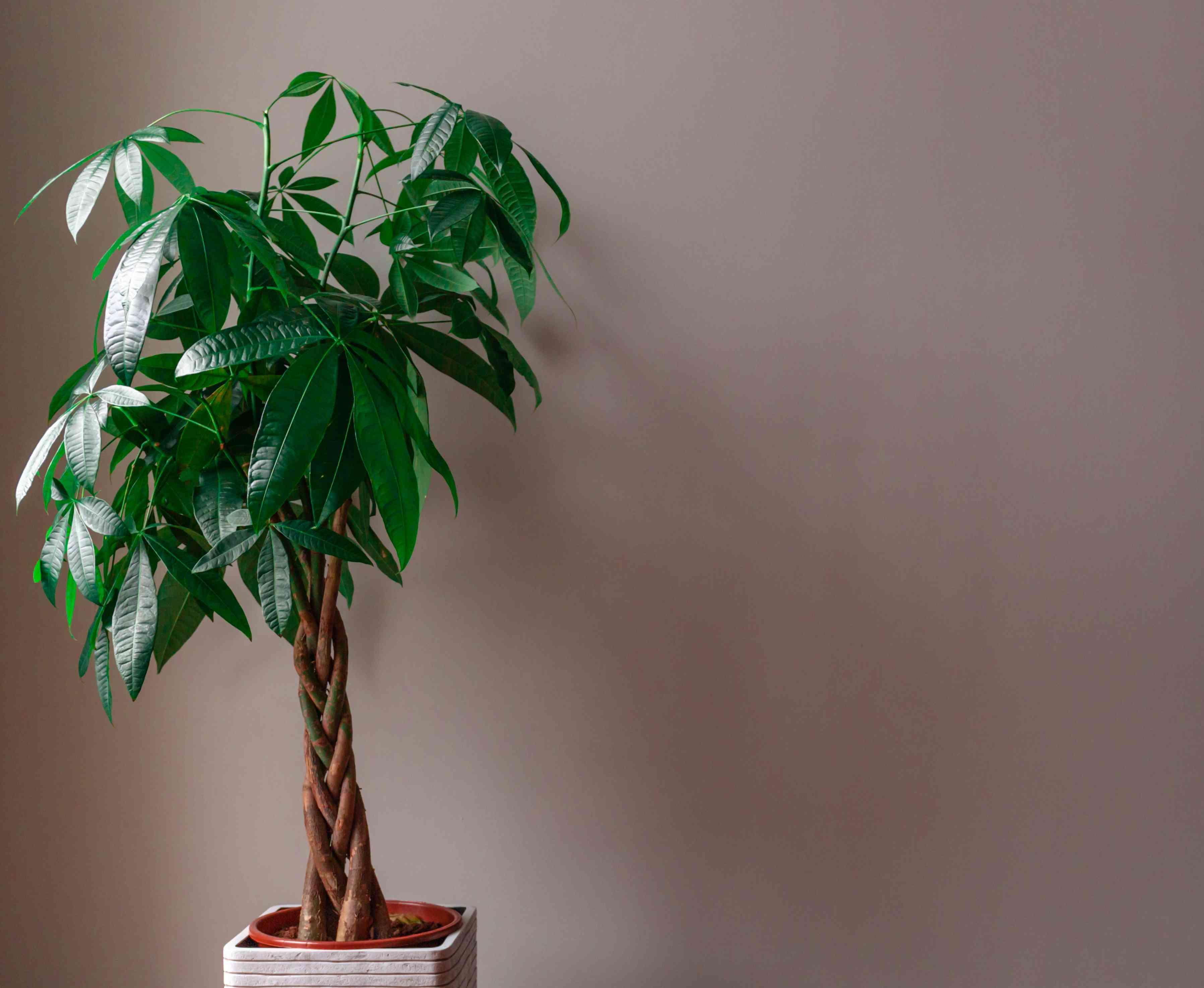 A money tree against a tan wall.