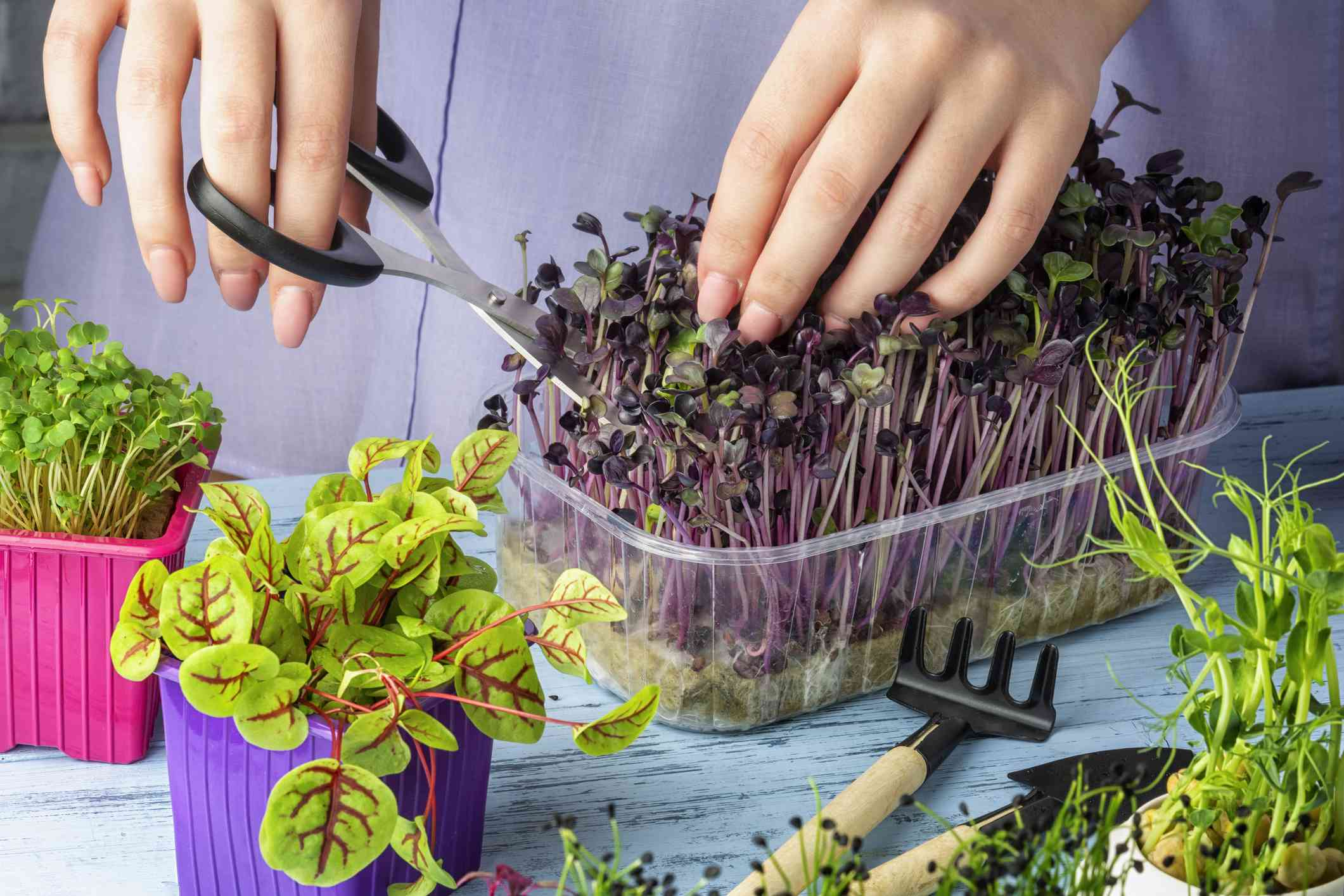 cutting purple and green microgreens with small scissors