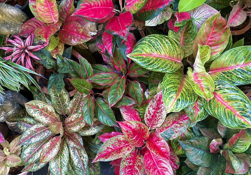 overhead view of many aglaonema plants with green, yellow, red, and pink leaves