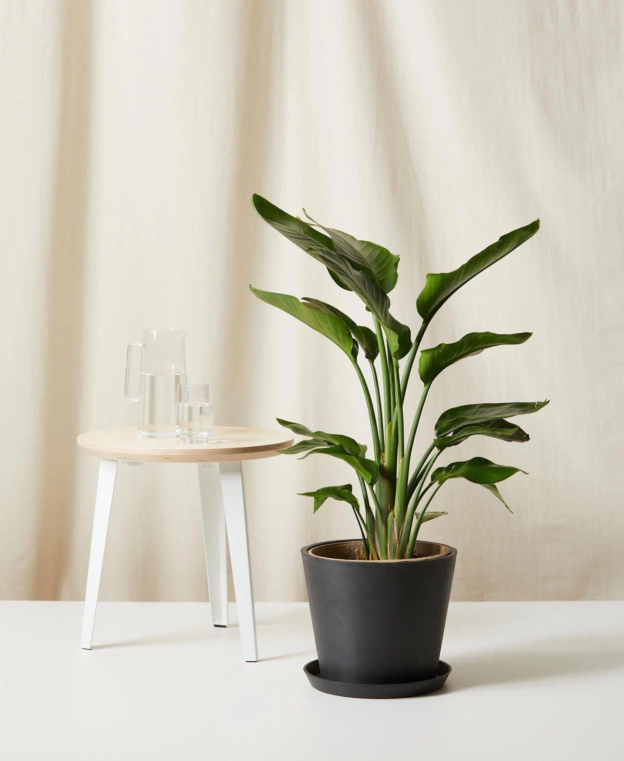 best window plants: bird of paradise