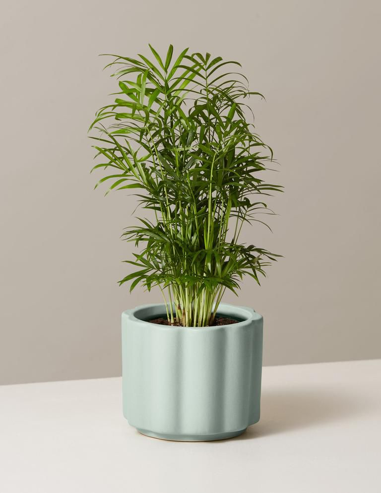Parlor palm in a mint scalloped pot