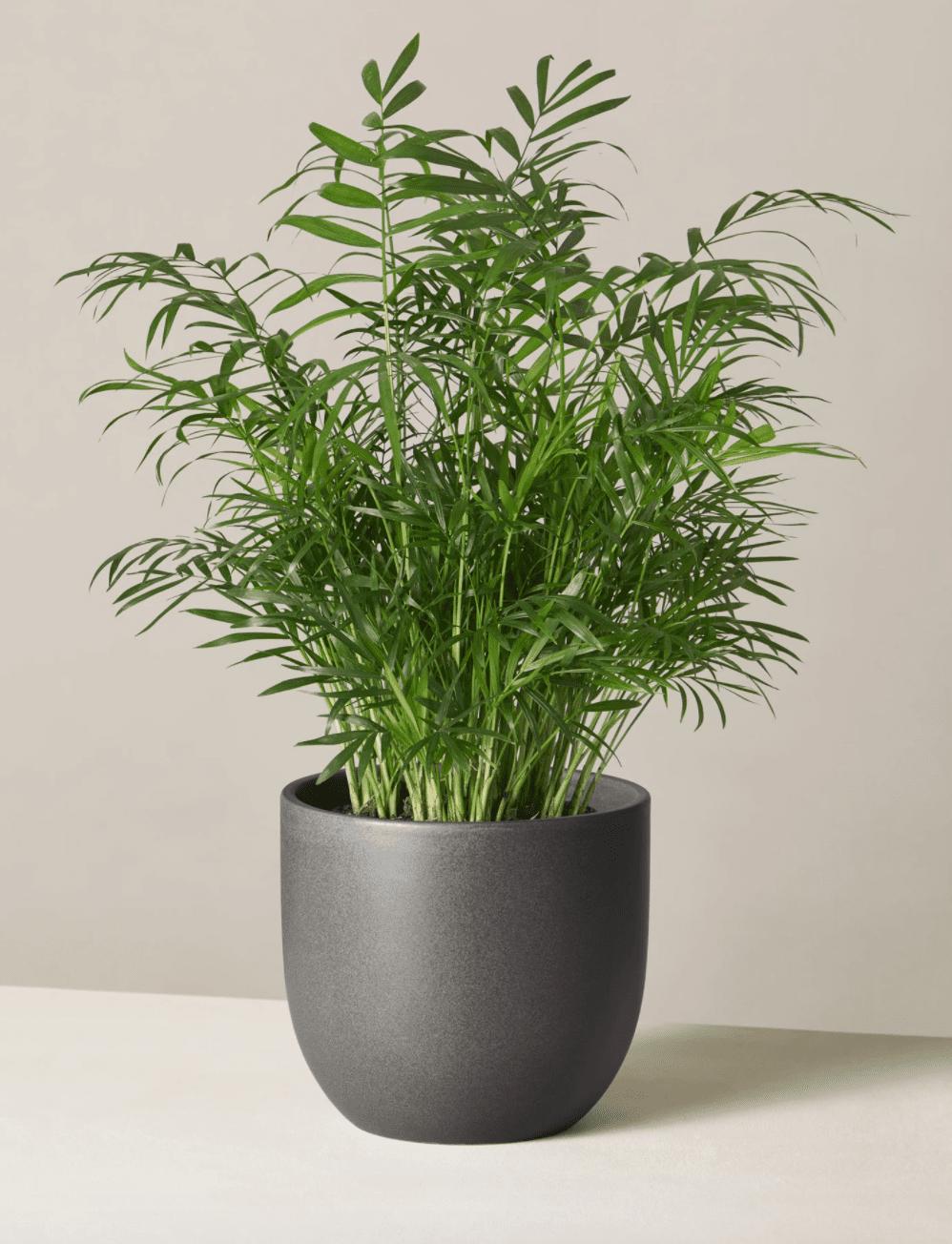parlor palm in black pot
