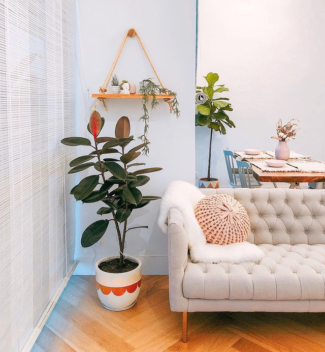 Rubber tree next to a modern tufted sofa