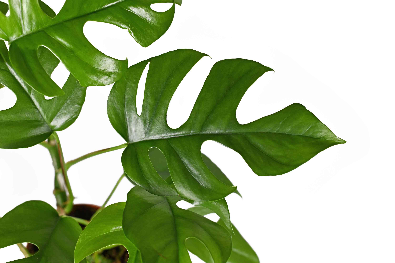 Leaf of rhaphidophora tetrasperma plant